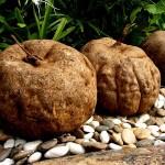 pueraria mirifica for bigger breasts